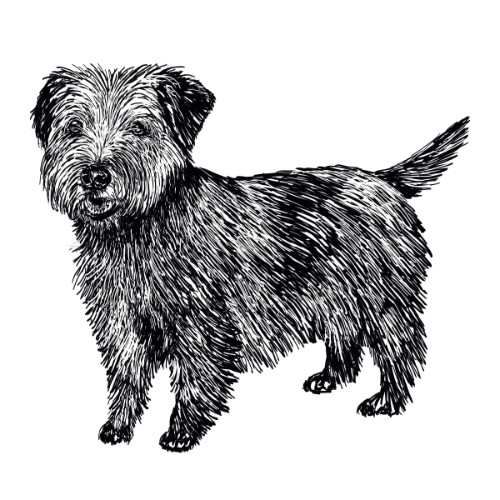 Norfok Terrier Illustration   The Enlightened Hound