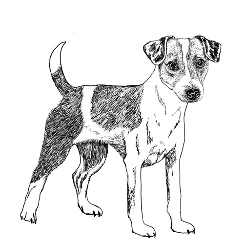 Parson russell Terrier Illustration by Debbie Kendall