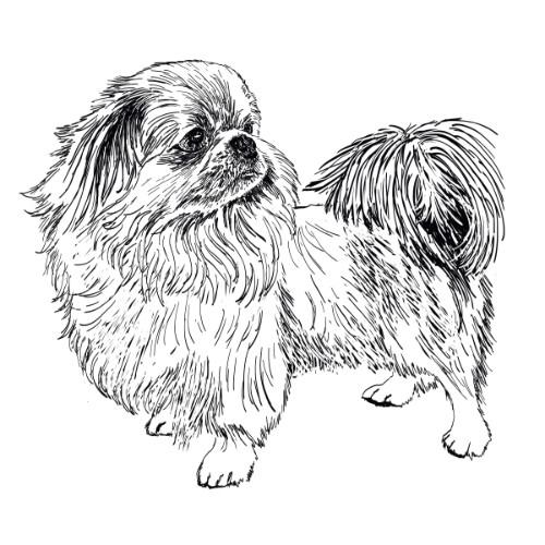 Pekingese Illustration   The Enlightened Hound