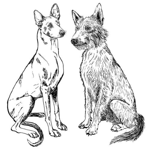 Podenco Illustration   The Enlightened Hound
