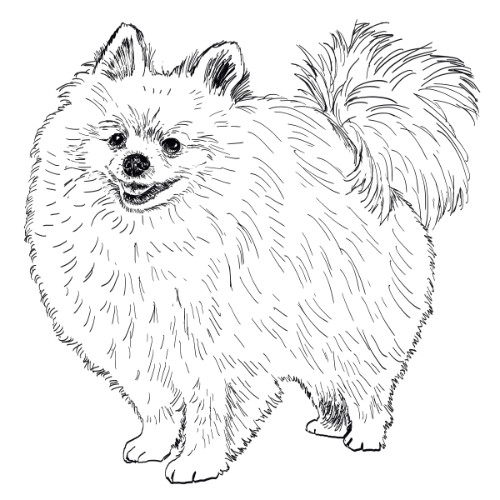 Pomeranian Illustration   The Enlightened Hound