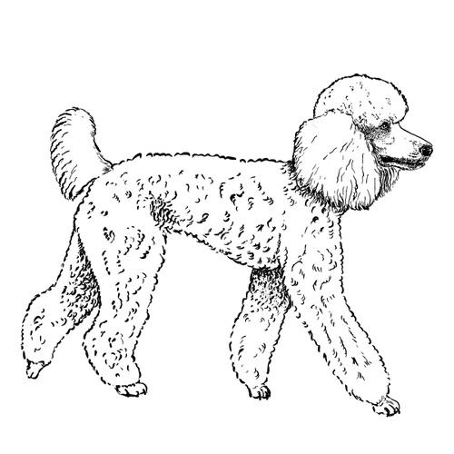 Poodle Illustration by Debbie Kendall