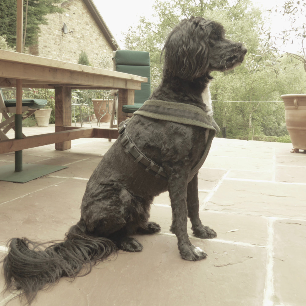 Portuguese Water Dog Sitting Clipped Coat | The Enlightened Hound