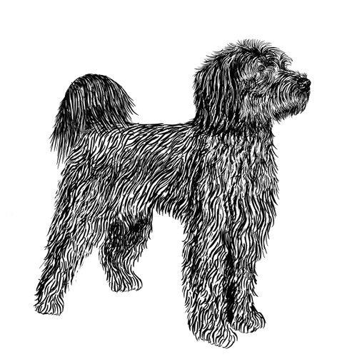 Portuguese Water Dog Illustration by Debbie Kendall