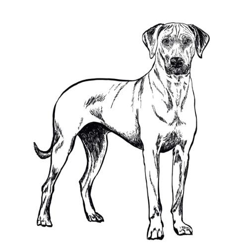 Rhodesian Ridgeback Illustration   The Enlightened Hound