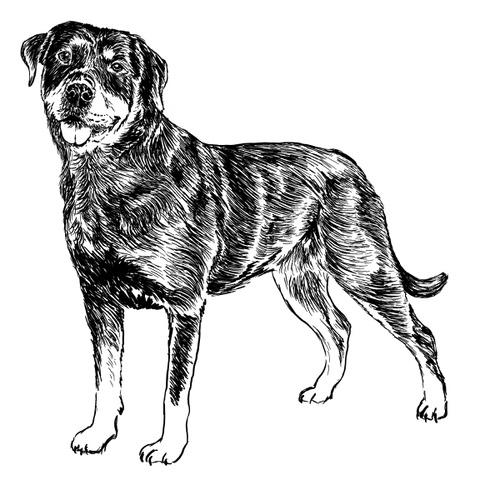 Rottweiler Illustration by Debbie Kendall