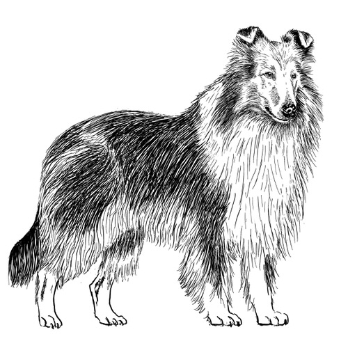 Rough Collie Illustration by Debbie Kendall
