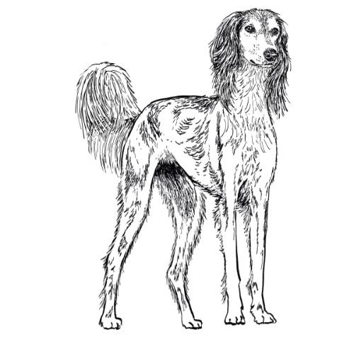 Saluki Illustration   The Enlightened Hound