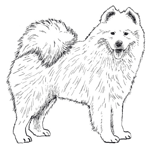 Samoyed Illustration   The Enlightened Hound
