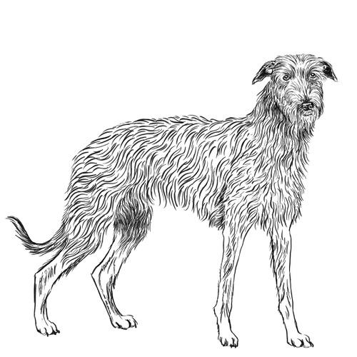 Scottish Deerhound Illustration by Debbie Kendall