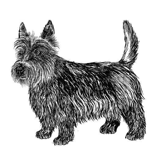 Scottish Terrier Illustration by Debbie Kendall