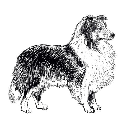 Shetland Sheepdog Sheltie Illustration   The Enlightened Hound