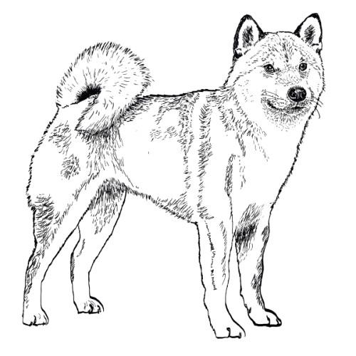 Japanese Shiba Inu Illustration   The Enlightened Hound