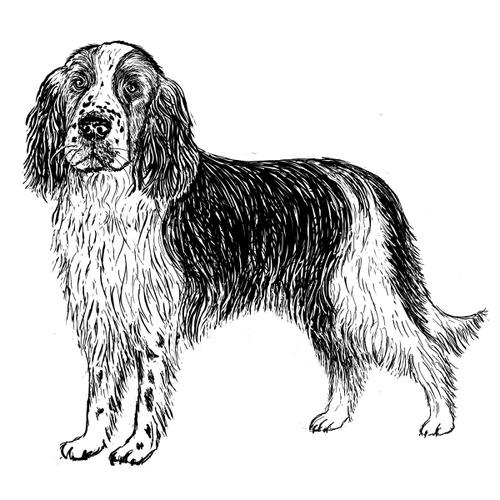 Springer Spaniel Illustration by Debbie Kendall