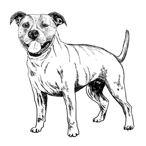 Staffordshire Bull Terrier Illustration by Debbie Kendall