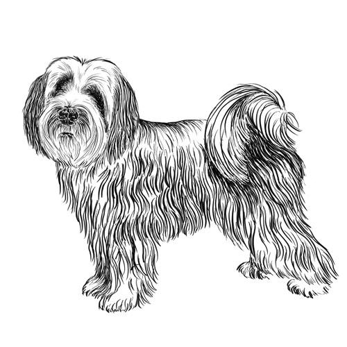 Tibetan Terrier Illustration by Debbie Kendall