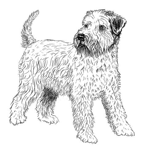 Wheaten Terrier Illustration by Debbie Kendall