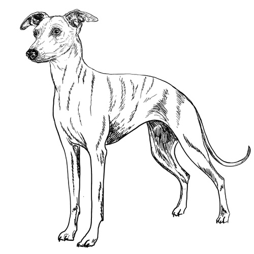 Whippet Illustration by Debbie Kendall