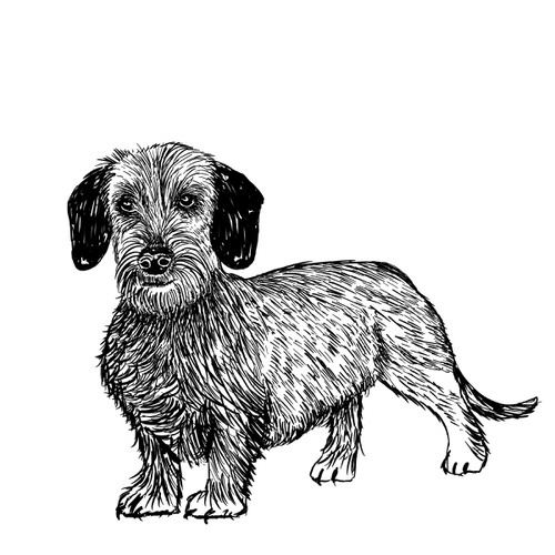 Wire Haired Dachshund illustration by Debbie Kendall
